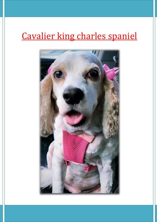Cavalier king charles spaniel cavalier king charles spaniel